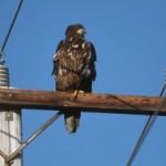Previniendo electrocuciones de aves