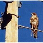 ¿Porqué las aves no reciben una descarga eléctrica al pararse sobre líneas aéreas en servicio?