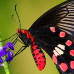 Las alas de una mariposa negra multiplican por dos la eficiencia de los paneles solares